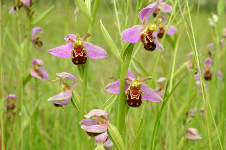 Bee Orchid_Porstewart-Golf-Club